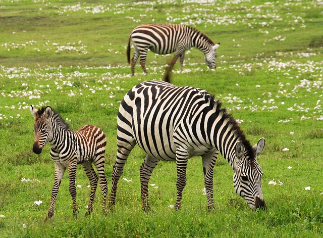 The zebra is a white animal with black stripes.